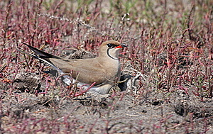 Collared Pratincole Royalty Free Stock Photos - Image: 19444558