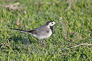 White Wagtail Stock Photos - Image: 19444643