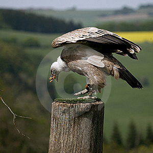 Eating Griffon Vulture Stock Images - Image: 19445954