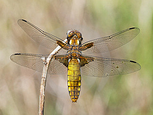 Broad-bodied Chaser (Libellula Depressa) Royalty Free Stock Photography - Image: 19454167