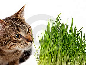 Cat Smelling A Green Grass Royalty Free Stock Photography - Image: 19455967