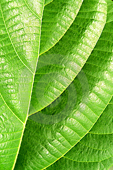 Green Plant Leave, Detail Royalty Free Stock Images - Image: 19456009