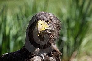 White-tailed Eagle Stock Photo - Image: 19456360