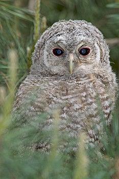 Tawny Owl, Juvenile / Strix Aluco Stock Photo - Image: 19456810