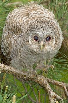Tawny Owl, Juvenile / Strix Aluco Royalty Free Stock Image - Image: 19456856