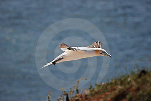 Northern Gannet Stock Photography - Image: 19466422