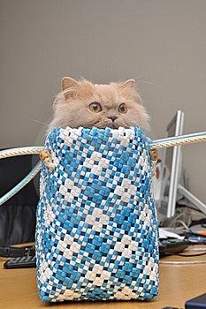 Persian Cat Stock Images - Image: 19468854