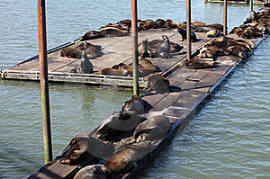 Sea-lions Basking At A Marina In Astoria Oregon. Royalty Free Stock Photo - Image: 19472845