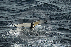 Whale Taking A Dive Royalty Free Stock Photos - Image: 19487208