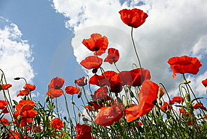 Poppies Royalty Free Stock Image - Image: 19489866