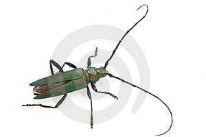 Longhorn Beetle Royalty Free Stock Photography - Image: 19497287