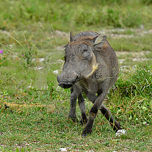 African Warthog Royalty Free Stock Photography - Image: 19497827