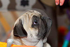 Pug With Fingers Royalty Free Stock Image - Image: 1951996