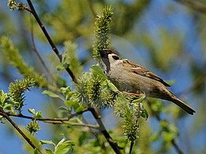 Sparrow Stock Image - Image: 19500901