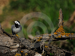 White Wagtail (Motacilla Alba) Royalty Free Stock Photos - Image: 19500948