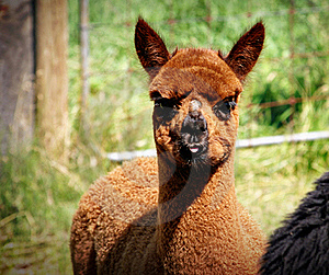 Brown Llama Stock Photos - Image: 19503123