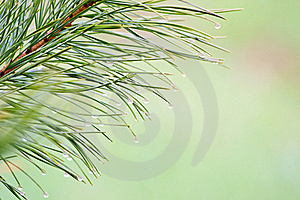 Conifer Brunch Royalty Free Stock Photos - Image: 19503318