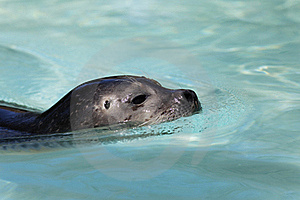 Seal Stock Photos - Image: 19508123