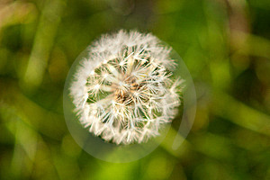 Dandelion Royalty Free Stock Photos - Image: 19514428