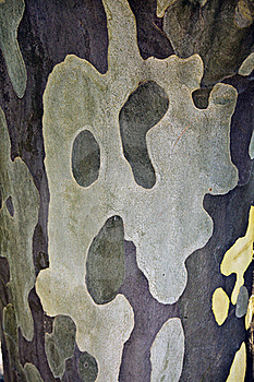 Maple Tree Bark Stock Images - Image: 19517344