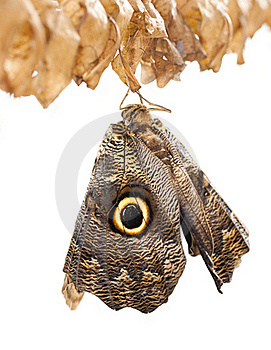 Owl Butterfly Royalty Free Stock Image - Image: 19523046