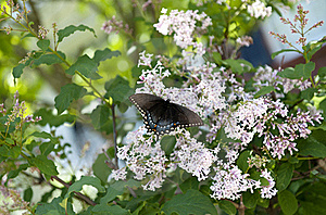 Black Swallowtail Butterfly Royalty Free Stock Images - Image: 19528199