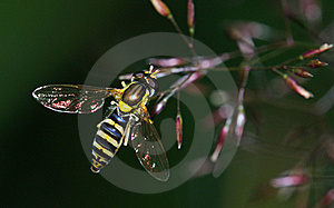 Hoverfly Royalty-vrije Stock Foto - Afbeelding: 19539075