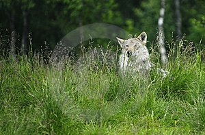 Wolf In A Grass Stock Photography - Image: 19541692