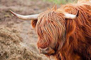 Highland Cattle Stock Image - Image: 19542231