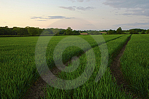 Twilight Field Of Crops Royalty Free Stock Photos - Image: 19550608