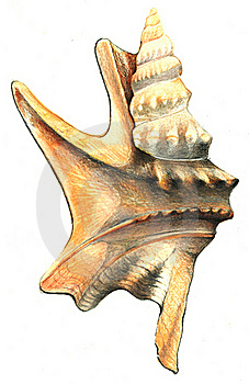 Shell Drawing Isolated Stock Images - Image: 19555884