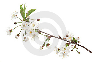 Cherry Blossom Stock Images - Image: 19556424