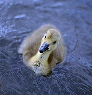 New Born Baby Canadian Goslings Royalty Free Stock Image - Image: 19556986