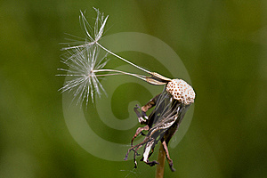 Dandelion Royalty Free Stock Photography - Image: 19567137