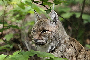 Lynx Royalty Free Stock Images - Image: 19572029