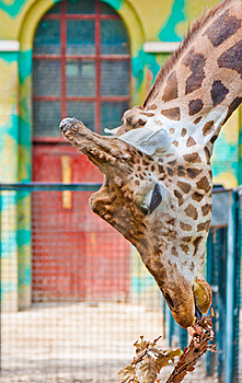 Giraffe Are Eating Leaves Royalty Free Stock Photos - Image: 19576668