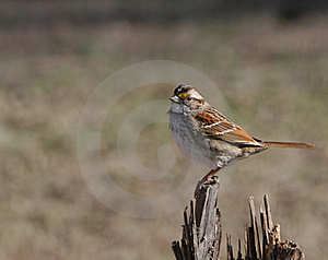White Throated Sparrow Royalty Free Stock Photos - Image: 19584638