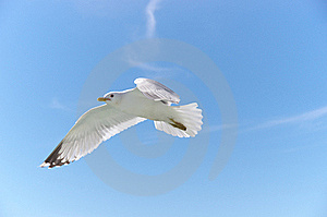 Flying Seagull Royalty Free Stock Photos - Image: 19589068
