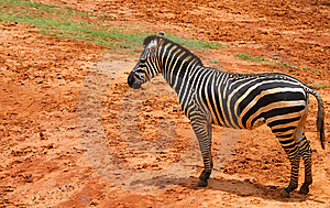 Zebra Royalty Free Stock Photos - Image: 19591568