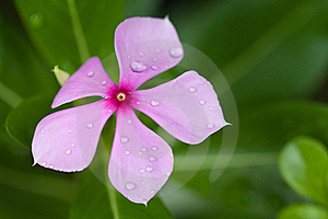 Raindrops On Purple Flower Stock Photos - Image: 19592473