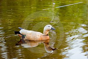 Duck On The Lake Royalty Free Stock Photo - Image: 19597745
