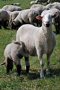 Sheep And Lamb Stock Photos - Image: 19598953