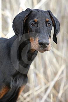 Dreaming Doberman Puppy Stock Photos - Image: 19599843