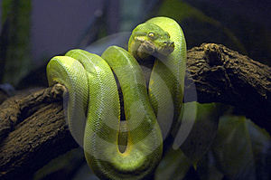 Green Snake in Tree Branch
