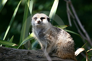 Suricata Royalty Free Stock Photo - Image: 1964295