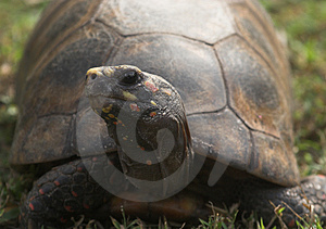 Tortoise Royalty Free Stock Images - Image: 1967539