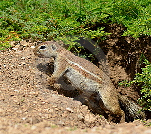 In Front Of Its Burrow Royalty Free Stock Images - Image: 19601059