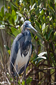 Tri-Colored Heron Royalty Free Stock Photos - Image: 19603118