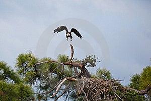 Bald Eagle Stock Image - Image: 19603181