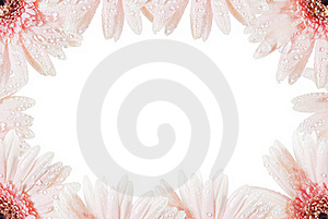Pink Gerbera Flower Royalty Free Stock Photography - Image: 19605187